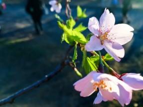 High Park Cherry Blossoms - 2015